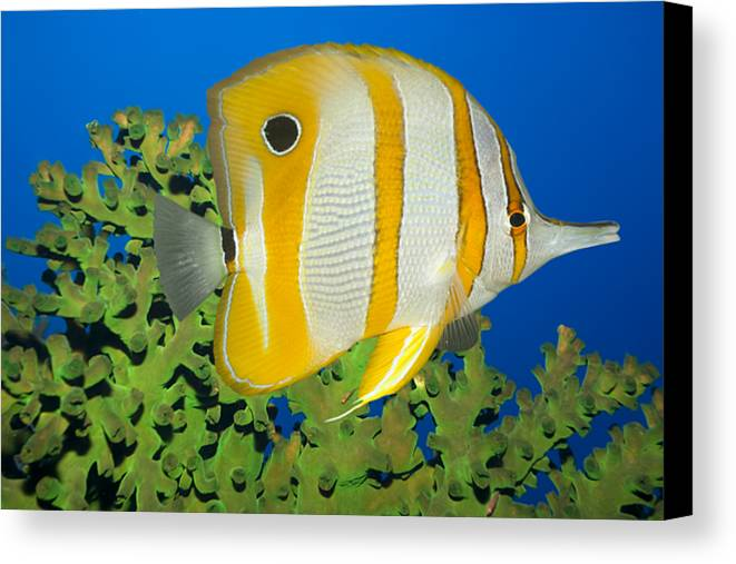 Butterflyfish Canvas Print featuring the photograph Tropical Fish Butterflyfish. by MotHaiBaPhoto Prints