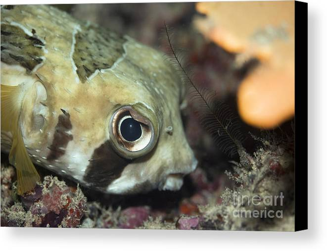 Diodon Canvas Print featuring the photograph Tropical Fish Porcupinefish by MotHaiBaPhoto Prints
