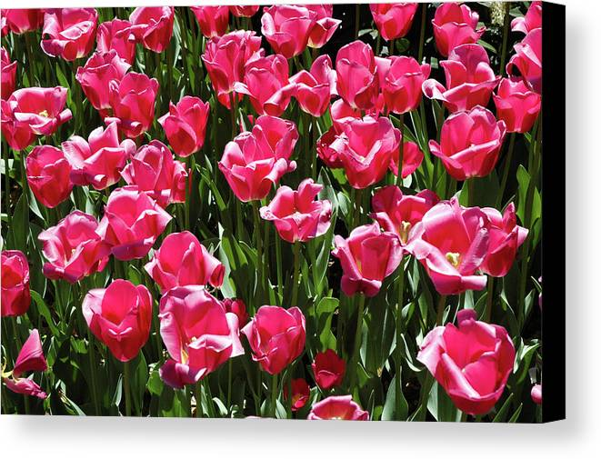 Flowers Tulips Garden Red Green Red Beautiful Plants Canvas Print featuring the photograph Tulips by Steven Riker