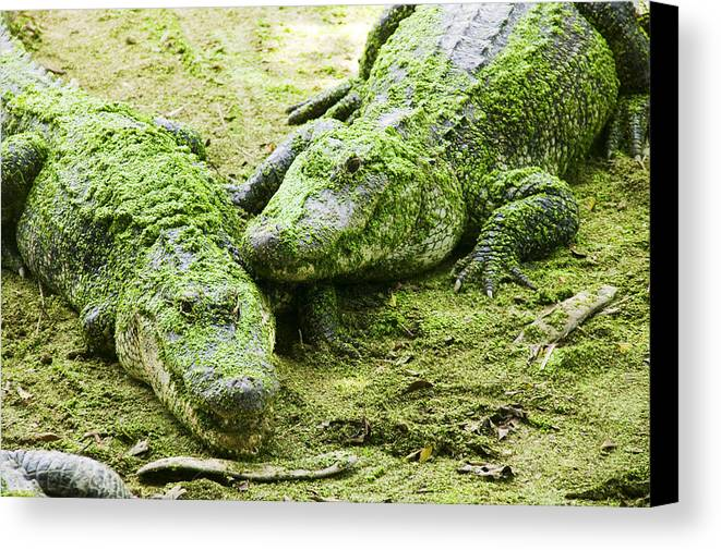 Two Canvas Print featuring the photograph Two Alligators by Garry Gay