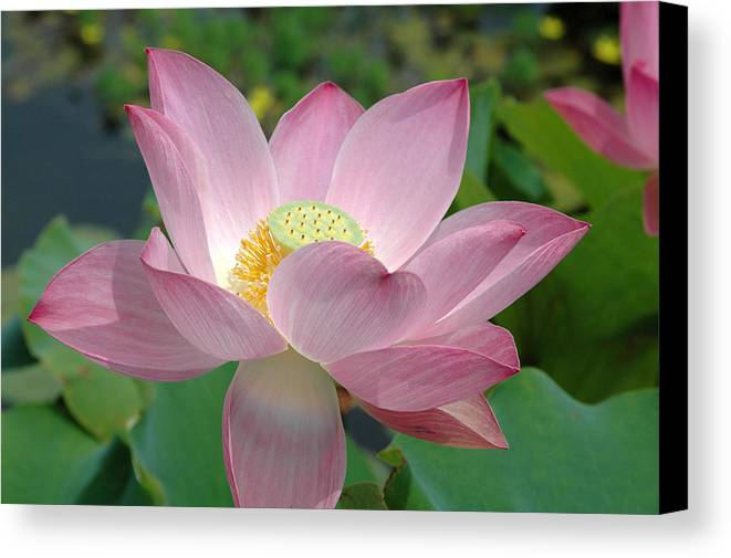 Flower Canvas Print featuring the photograph Untitled by Kathy Schumann