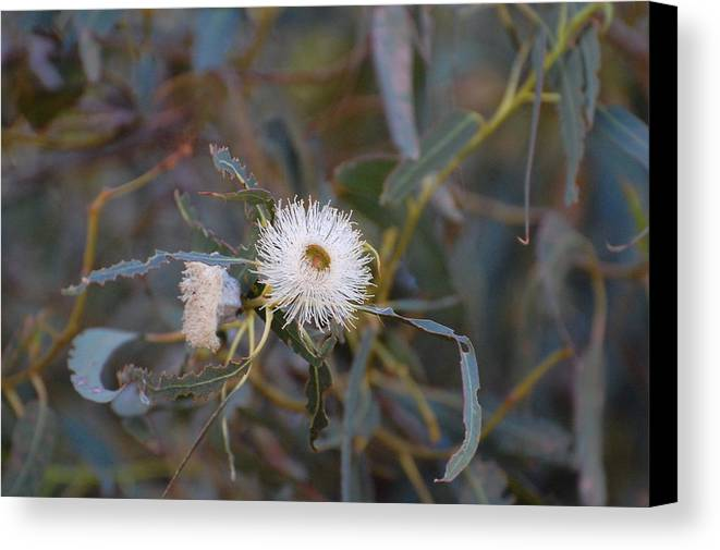 Eucalyptus Canvas Print featuring the photograph Up In The Eucalyptus by Jean Booth