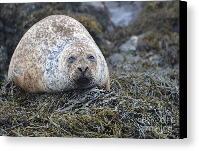 Seal Canvas Print featuring the photograph Very Chubby Harbor Seal by DejaVu Designs