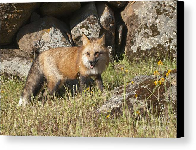 Red Fox Canvas Print featuring the photograph Wary Red Fox by Sandra Bronstein