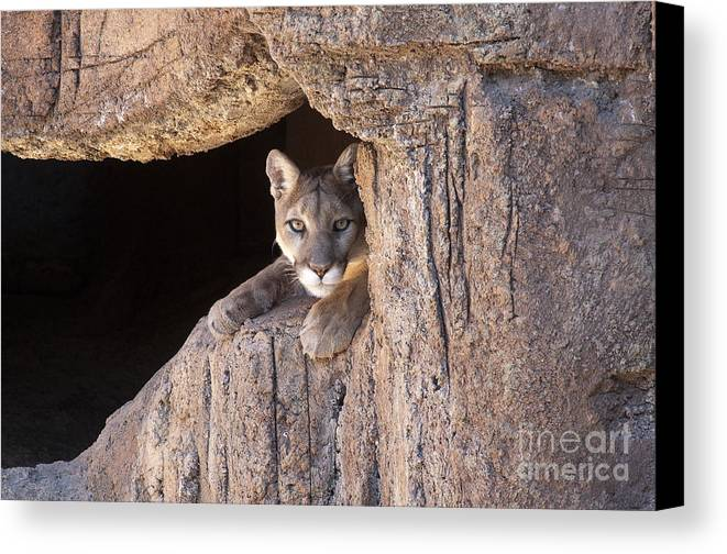 Cougar Canvas Print featuring the photograph Watchful Eyes by Sandra Bronstein