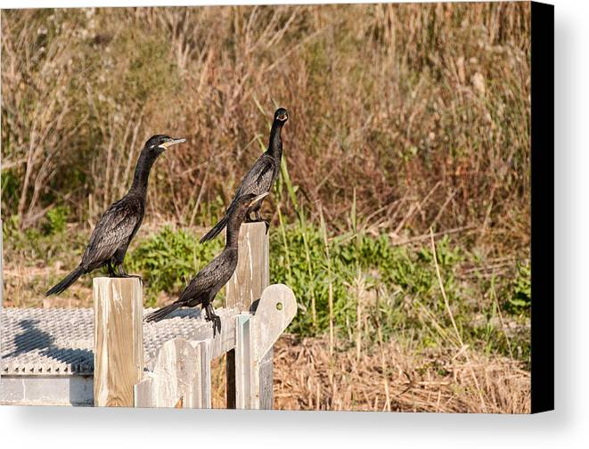 Marsh Canvas Print featuring the photograph Water Turkeys In The Marsh by Bill Perry