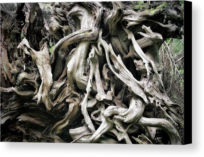 Roots Canvas Print featuring the photograph Weathered Roots - Sitka Spruce Tree Hoh Rain Forest Olympic National Park Wa by Christine Till