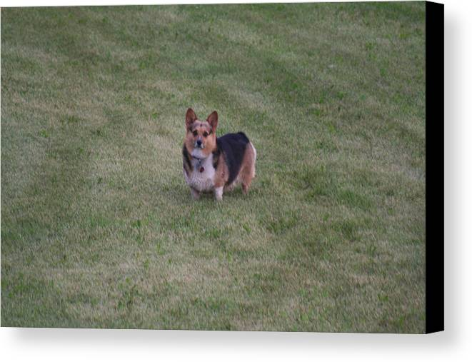 Dog Canvas Print featuring the photograph Welsh Corgie by Linda Ostby