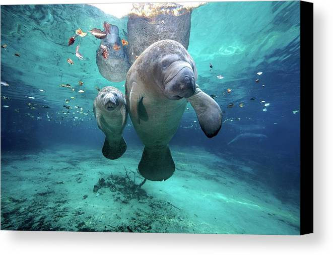 Horizontal Canvas Print featuring the photograph West Indian Manatees by James R.D. Scott