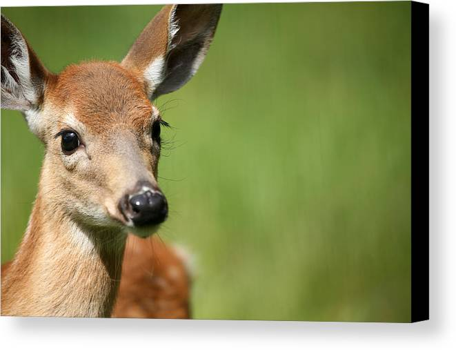 Deer Canvas Print featuring the photograph What A Face 1 by Karol Livote