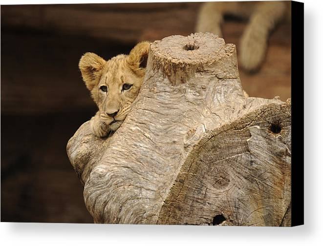 Lion Canvas Print featuring the photograph What To Do by Keith Lovejoy