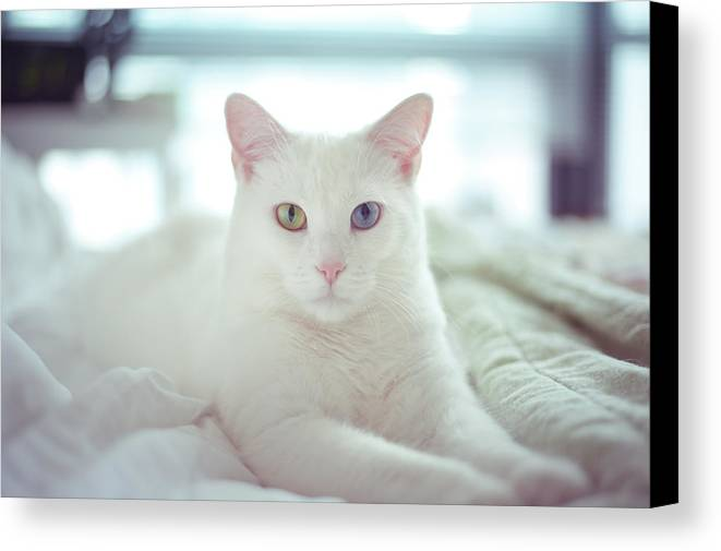 Horizontal Canvas Print featuring the photograph White Cat Laying On Comfy Bed by by Dornveek Markkstyrn