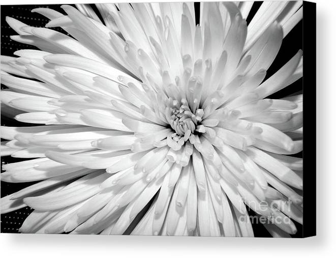 Nature Canvas Print featuring the photograph White Chrysanthemum by Julia Hiebaum