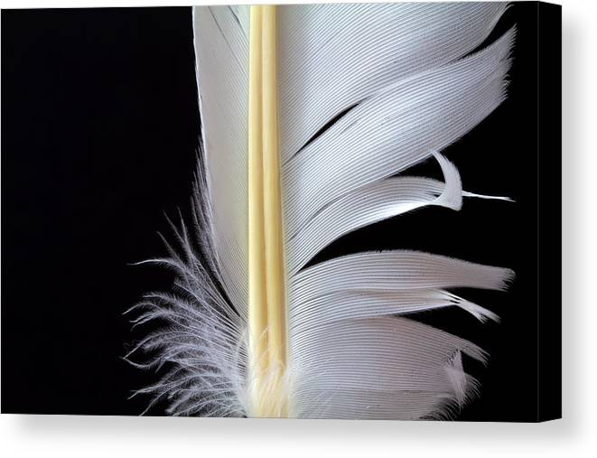 Feather Canvas Print featuring the photograph White Feather by Bob Orsillo