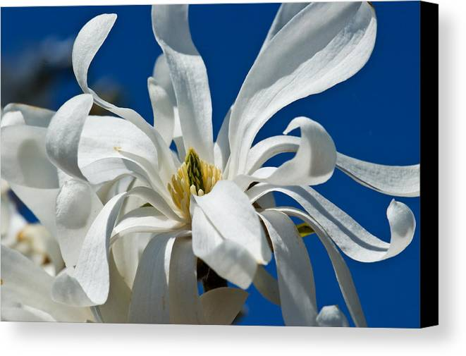 Botanical Canvas Print featuring the photograph White Flower Blue Skies by Edward Myers
