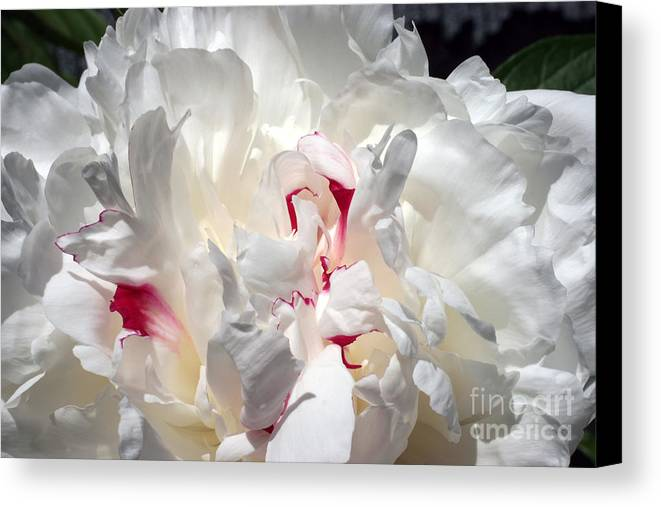 Peony Canvas Print featuring the photograph White Peony And Red Highlights by Steve Augustin