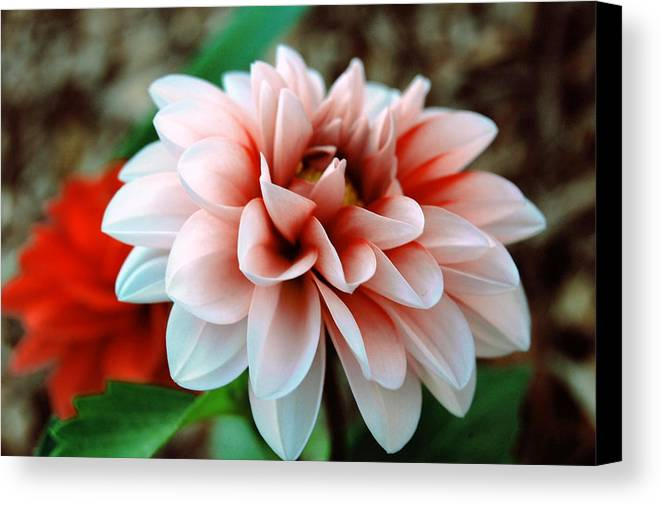 Flower Canvas Print featuring the photograph White Red Flower by Jame Hayes