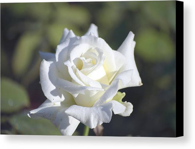 Rose Canvas Print featuring the photograph White Rose by Kenneth Albin