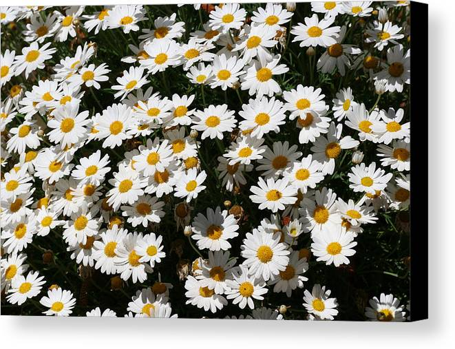White Canvas Print featuring the photograph White Summer Daisies by Christine Till