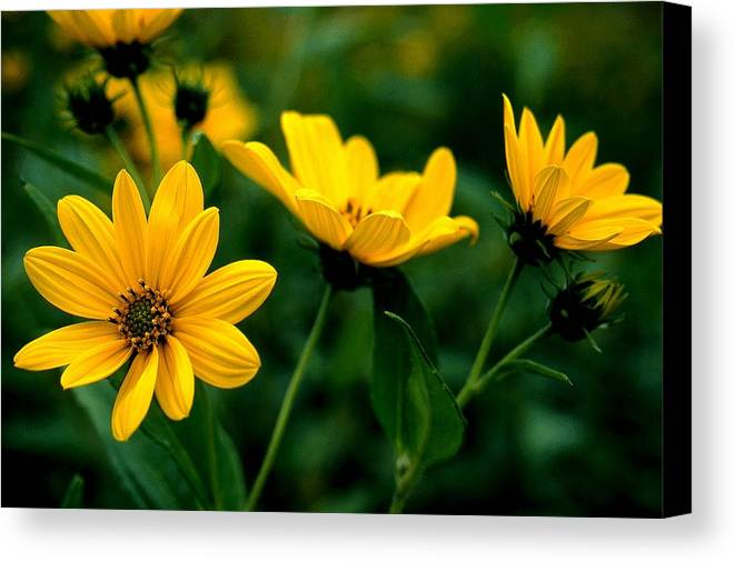 Wildflowers Canvas Print featuring the photograph Wild Daisies by Roger Soule