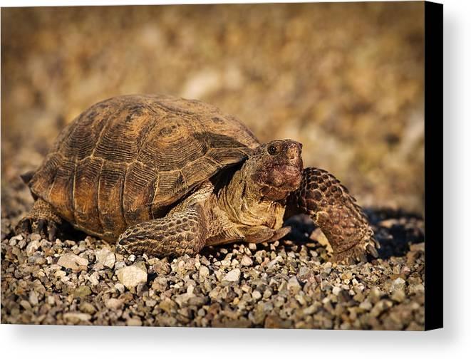 Animal Canvas Print featuring the photograph Wild Desert Tortoise Saguaro National Park by Steve Gadomski