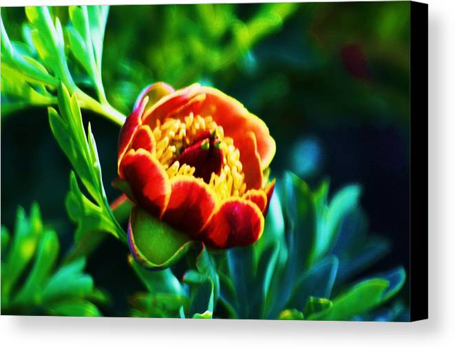 Wild Flowers Canvas Print featuring the photograph Wild Peony by Russell Barton
