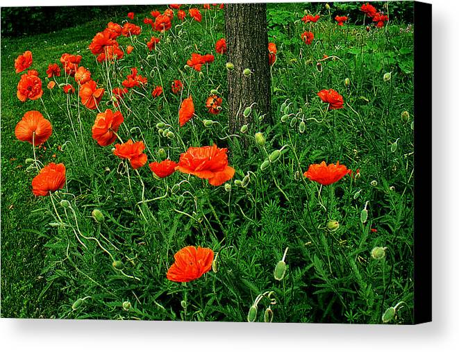 Flowers Canvas Print featuring the photograph Windblown Poppies by Roger Soule