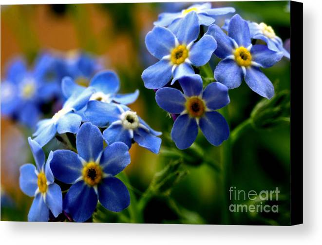 myosotis Sylvatica Canvas Print featuring the photograph Wood Forget Me Not Blue Bunch by Ryan Kelly