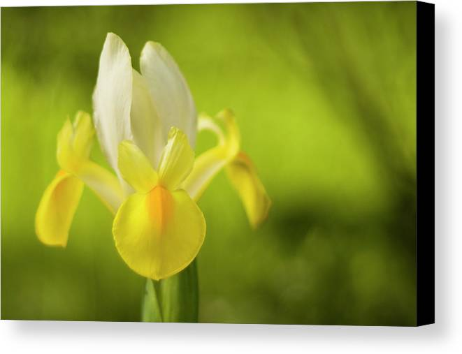 Iris Canvas Print featuring the photograph Yellow Bearded Iris by Mark Michel