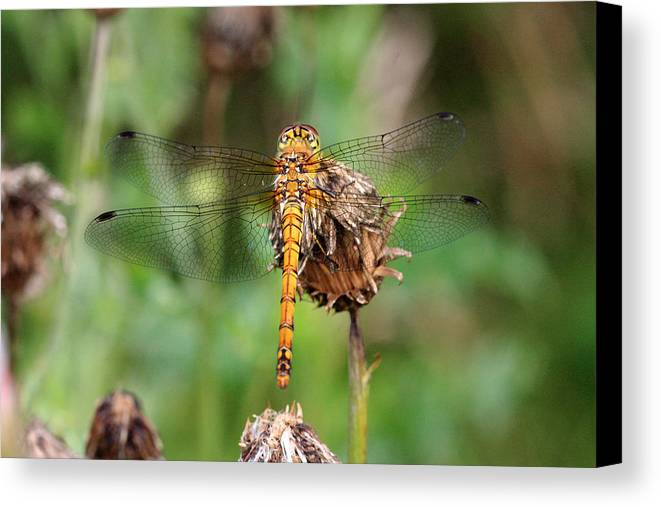 Dragonfly Canvas Print featuring the photograph yellow Dragonfly by Pierre Leclerc Photography