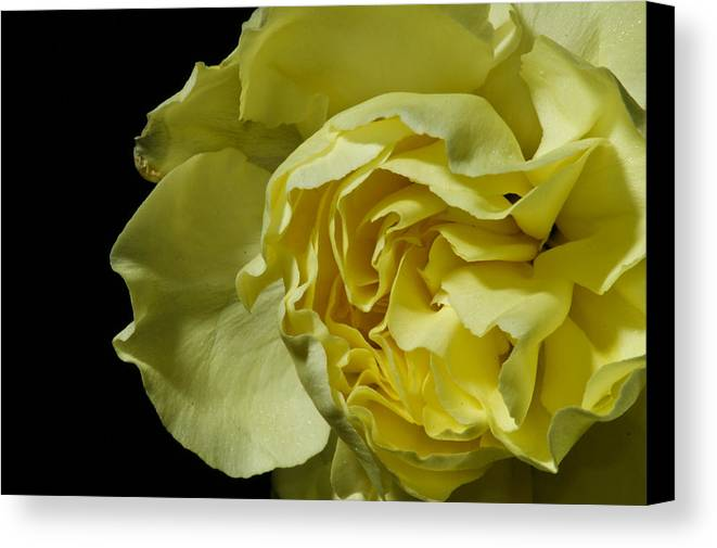 Botanical Canvas Print featuring the photograph Yellow Flower On Black by Edward Myers