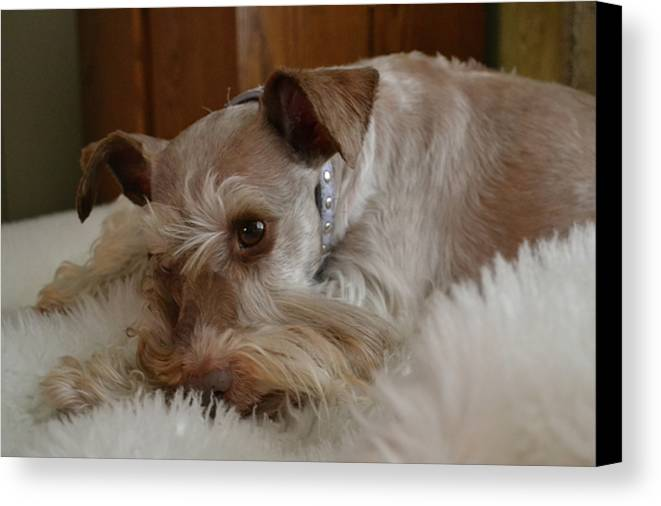 Pet Canvas Print featuring the photograph Yes I Was Sleeping by Carol Bradley