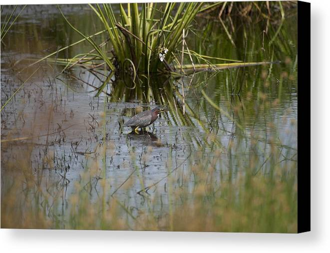 Little Green Heron Canvas Print featuring the photograph You Can't See Me by Tina B Hamilton