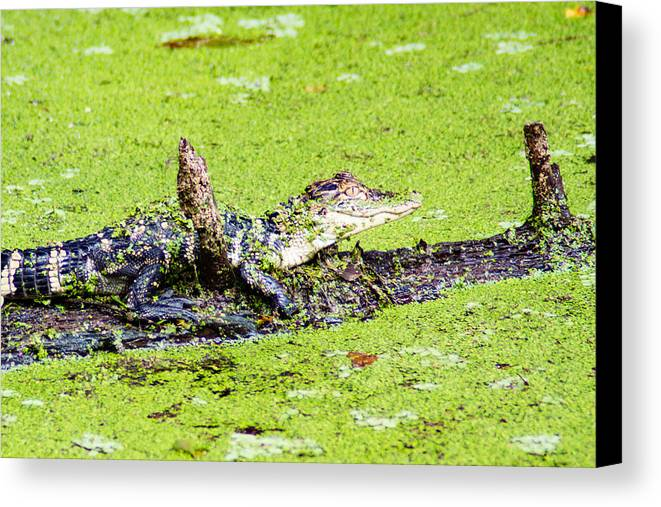 Circle B Bar Reserve Canvas Print featuring the photograph Young Alligator On A Log by Duane Lipham
