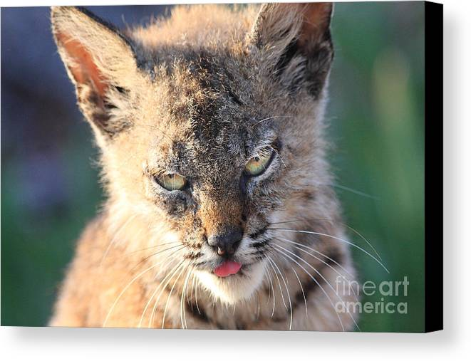 Animal Canvas Print featuring the photograph Young Bobcat 04 by Wingsdomain Art and Photography