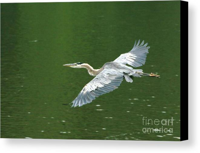 Landscape Nature Wildlife Bird Crane Heron Green Flight Ohio Water Canvas Print featuring the photograph Young Great Blue Heron Taking Flight by Dawn Downour