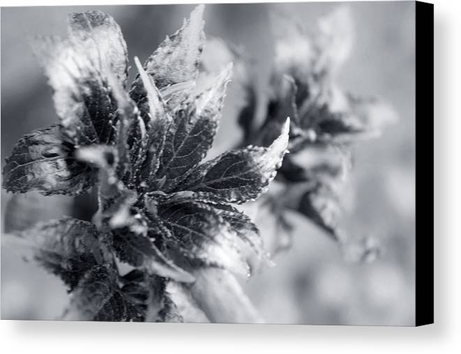 Flower Canvas Print featuring the photograph Young Leaves In Black And White by Irina Effa