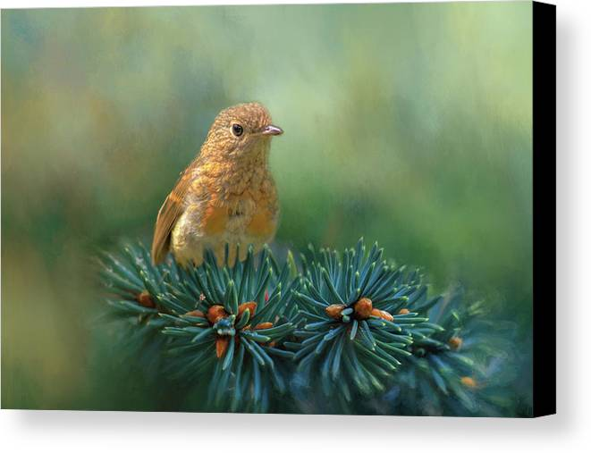 Robin Canvas Print featuring the photograph Young Robin On Pine Tree by Robert Murray