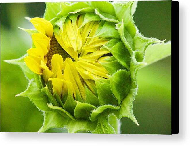 Flower Canvas Print featuring the photograph Young Sunflower by Tiffany Erdman
