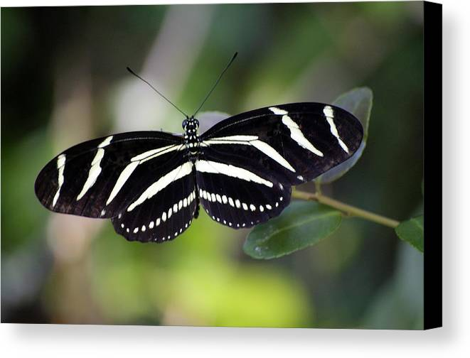 Butterfly Canvas Print featuring the photograph Zebra Butterfly by Kenneth Albin