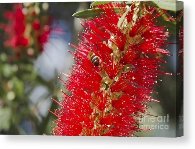 Canvas Print featuring the photograph Callistemon Citrinus - Crimson Bottlebrush by Sharon Mau