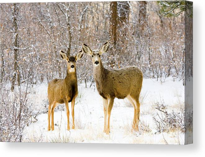 Mule Deer Canvas Print featuring the photograph Deer In The Snowy Woods by Steve Krull
