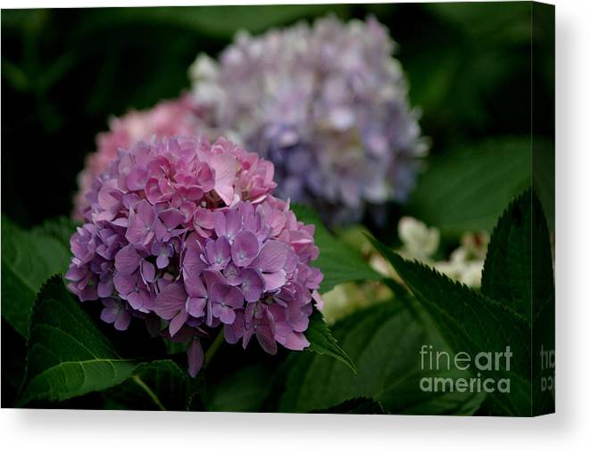 Hydrangea Canvas Print featuring the photograph Hydrangea by Living Color Photography Lorraine Lynch