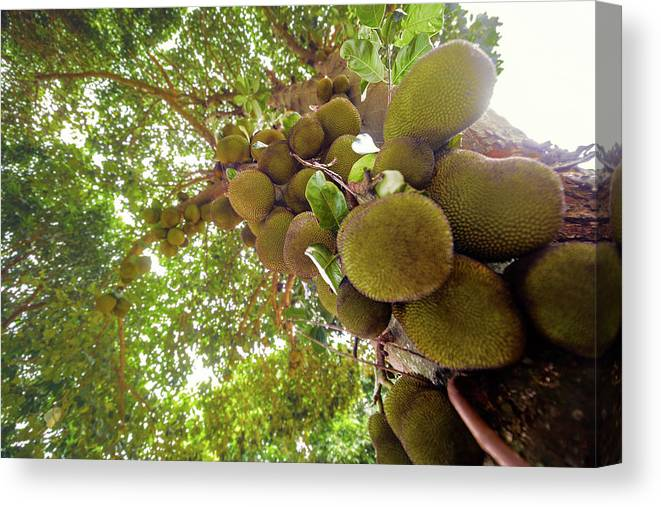 Nobody Canvas Print featuring the photograph Jackfruit Tree With Fruit Growing by Ktsdesign