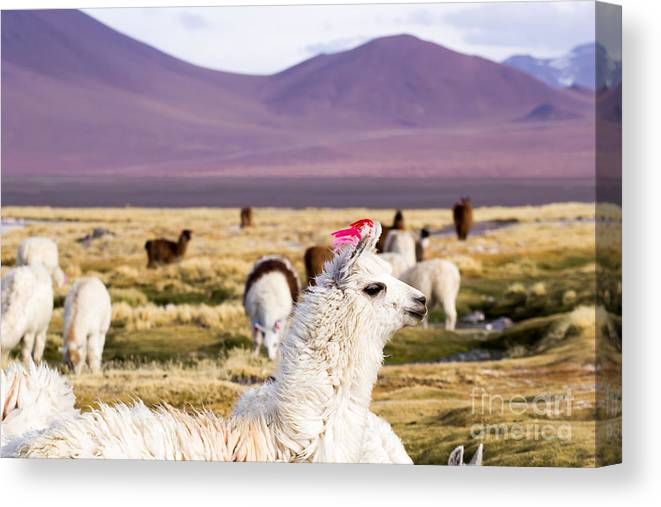 Alkali Canvas Print featuring the photograph Lama On The Laguna Colorada In Bolivia by Mariusz Prusaczyk