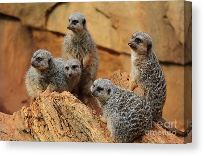 Meerkat Canvas Print featuring the photograph Meerkat Family by Michael Paskvan