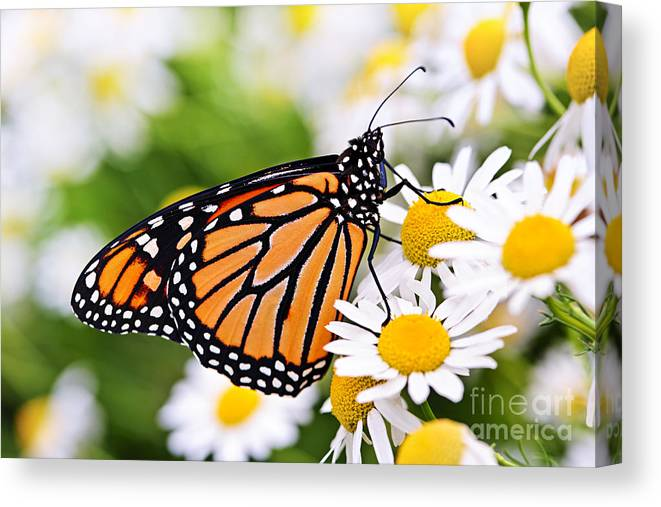Monarch Canvas Print featuring the photograph Monarch Butterfly by Elena Elisseeva