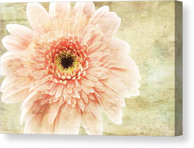 Andee Design Gerber Canvas Print featuring the photograph 1 Pink Painterly Gerber Daisy by Andee Design