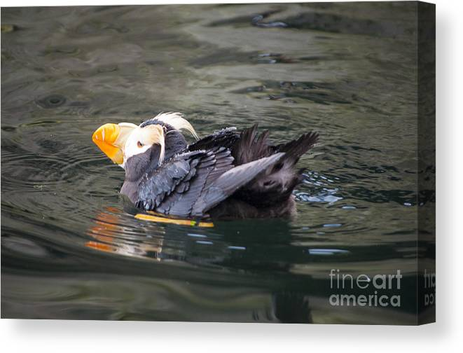 Oregon Canvas Print featuring the photograph Puffin Mid Prean by Mandy Judson