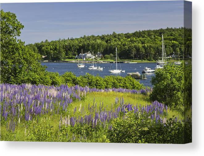 Maine Canvas Print featuring the photograph Round Pond Lupine Flowers On The Coast Of Maine 1 by Keith Webber Jr
